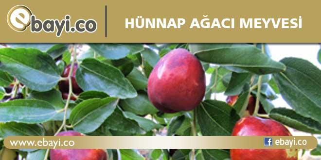 Hünnap ağacı